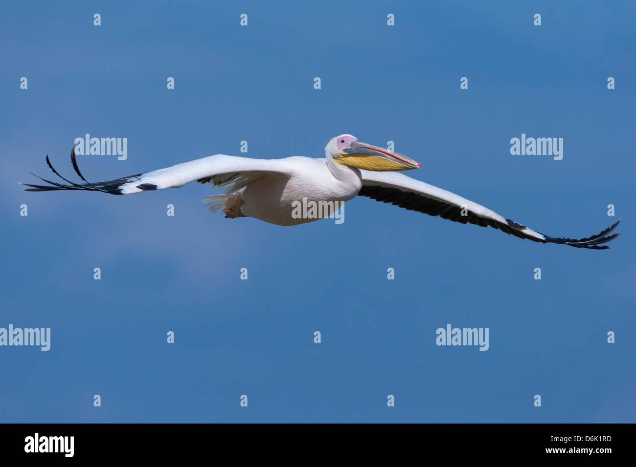 Great white pelican (Pelecanus onocrotalus) in flight, Lake Nakuru National Park, Kenya, East Africa, Africa - Stock Image