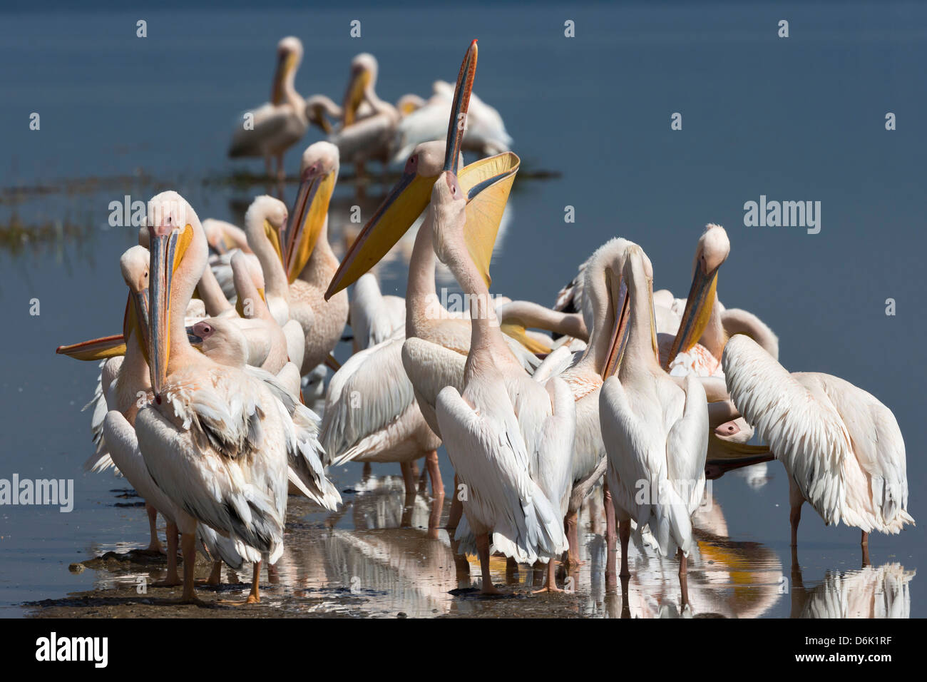 Great white pelicans (Pelecanus onocrotalus), Lake Nakuru National Park, Rift Valley, Kenya, East Africa, Africa - Stock Image