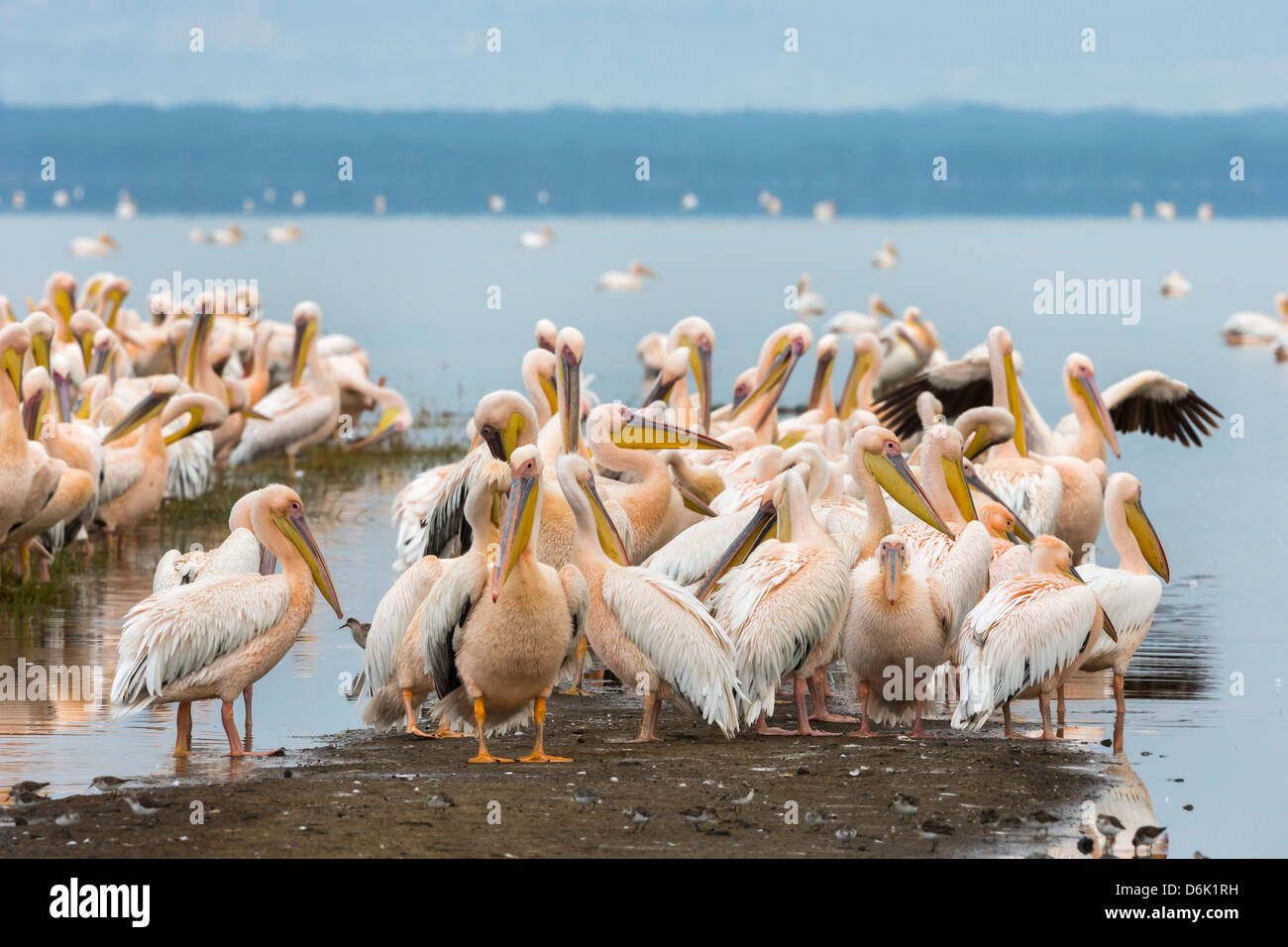 Great white pelicans (Pelecanus onocrotalus), Lake Nakuru National Park, Kenya, East Africa, Africa - Stock Image