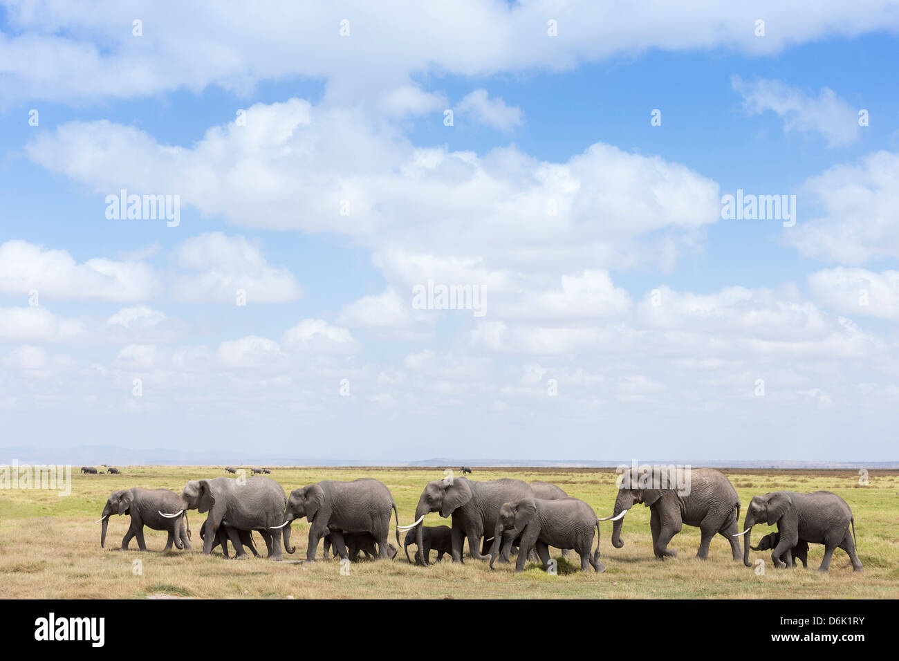 African elephants (Loxodonta africana), Amboseli National Park, Kenya, East Africa, Africa - Stock Image