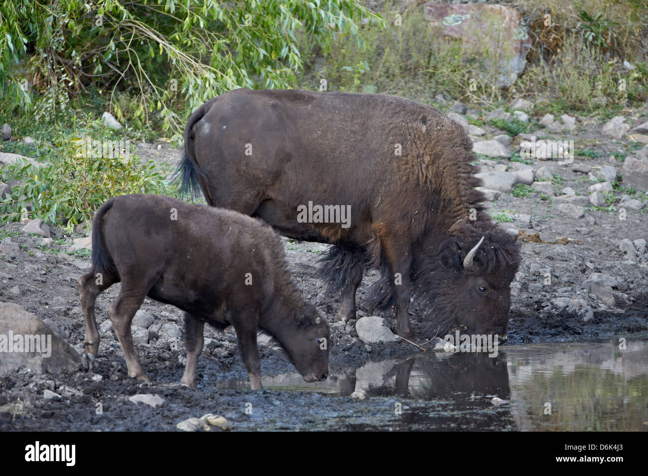 Bison (Bison bison) cow and calf drinking from a pond, Custer State Park, South Dakota, United States of America, - Stock Image