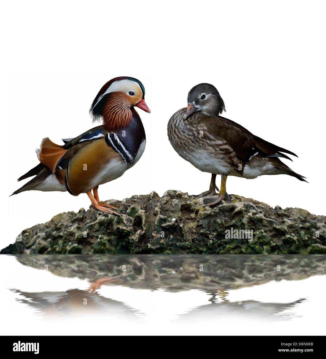 Male And Female Mandarin Ducks (Aix Galericulata) - Stock Image