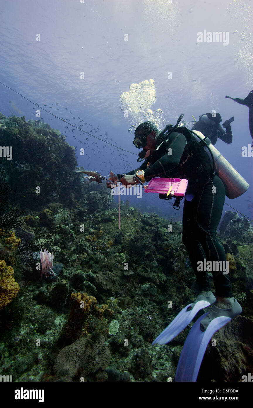 Dive guide culling pacific lionfish which have infested the stock.