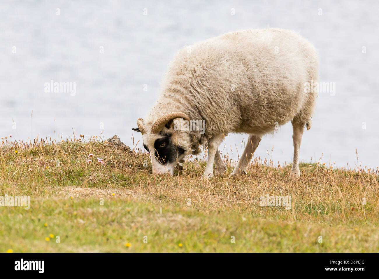 Domesticated sheep (Ovis aries), Flatey Island, Iceland, Polar Regions - Stock Image