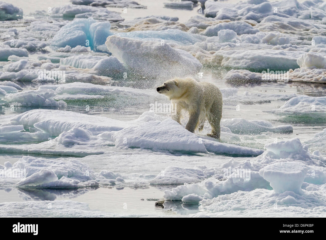 Adult polar bear (Ursus maritimus) drying out on the ice in Bear Sound, Spitsbergen Island, Svalbard, Norway, Scandinavia - Stock Image