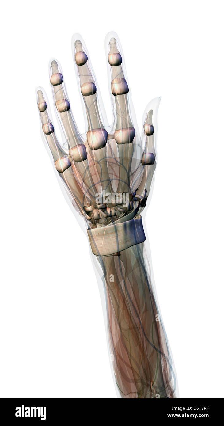 Connective tissue female hand wrist anatomy Female hand wrist ...