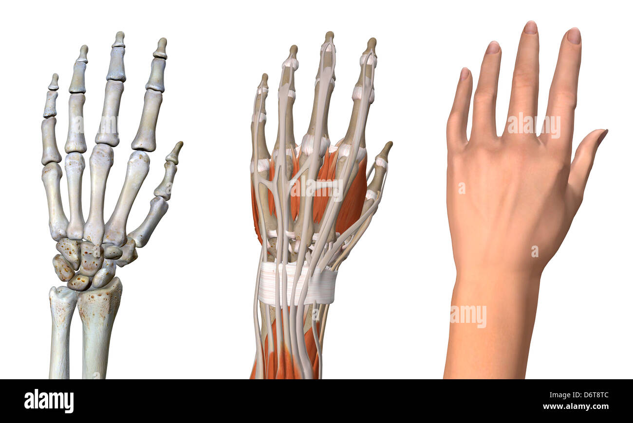 Three views female hand anatomy skeletal muscular skin Close up ...