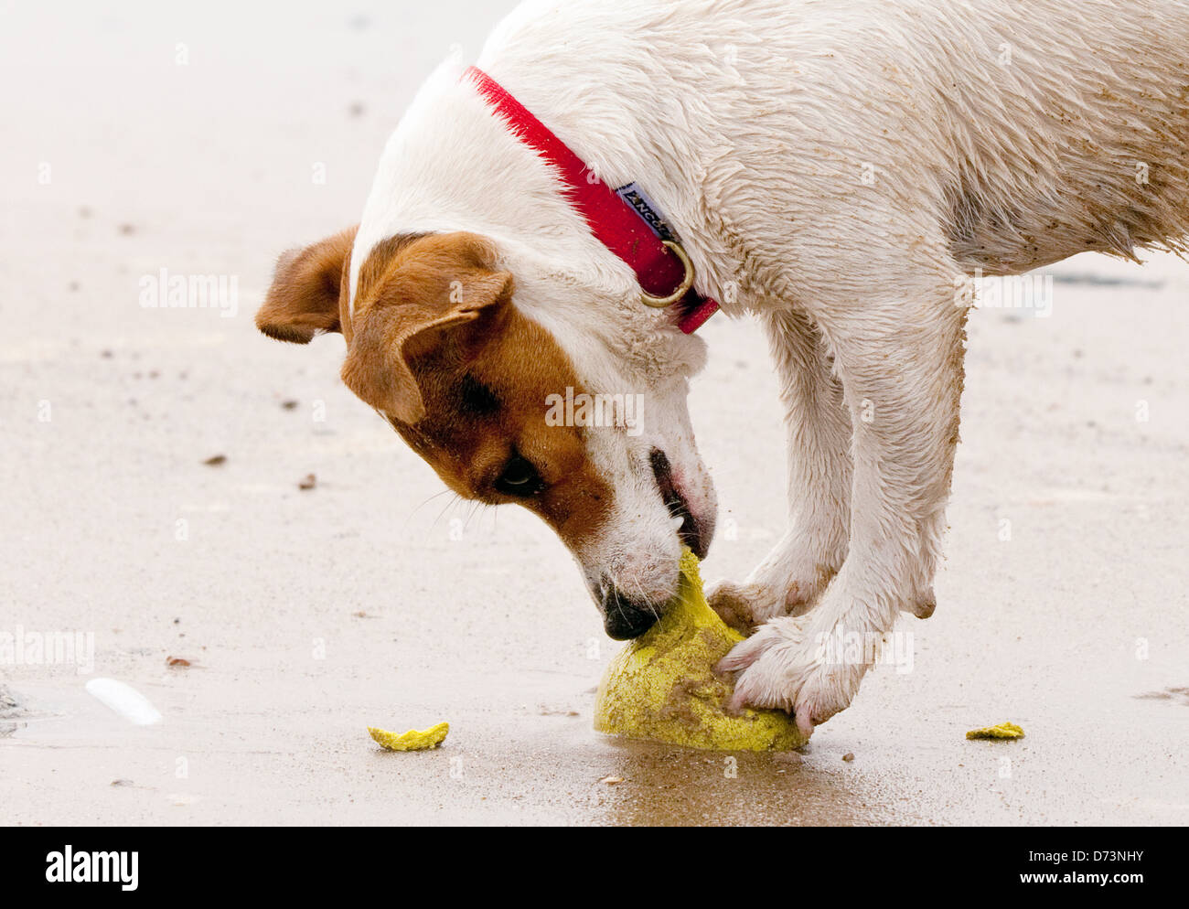 jack-russelll-terrier-dog-playing-with-a-ball-at-the-beach-norfolk-D73NHY.jpg