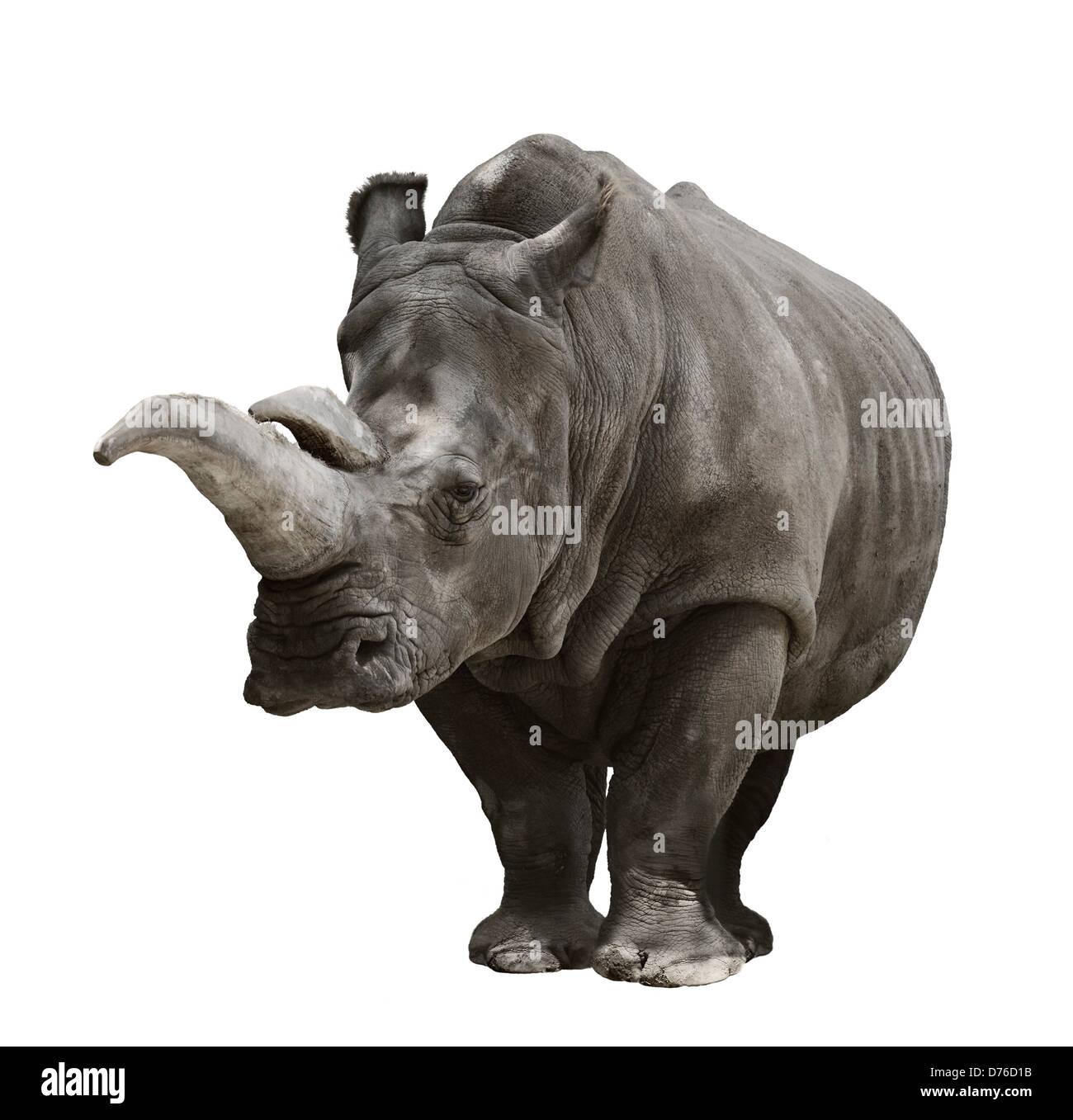 Portrait Of A Rhinoceros On White Background - Stock Image
