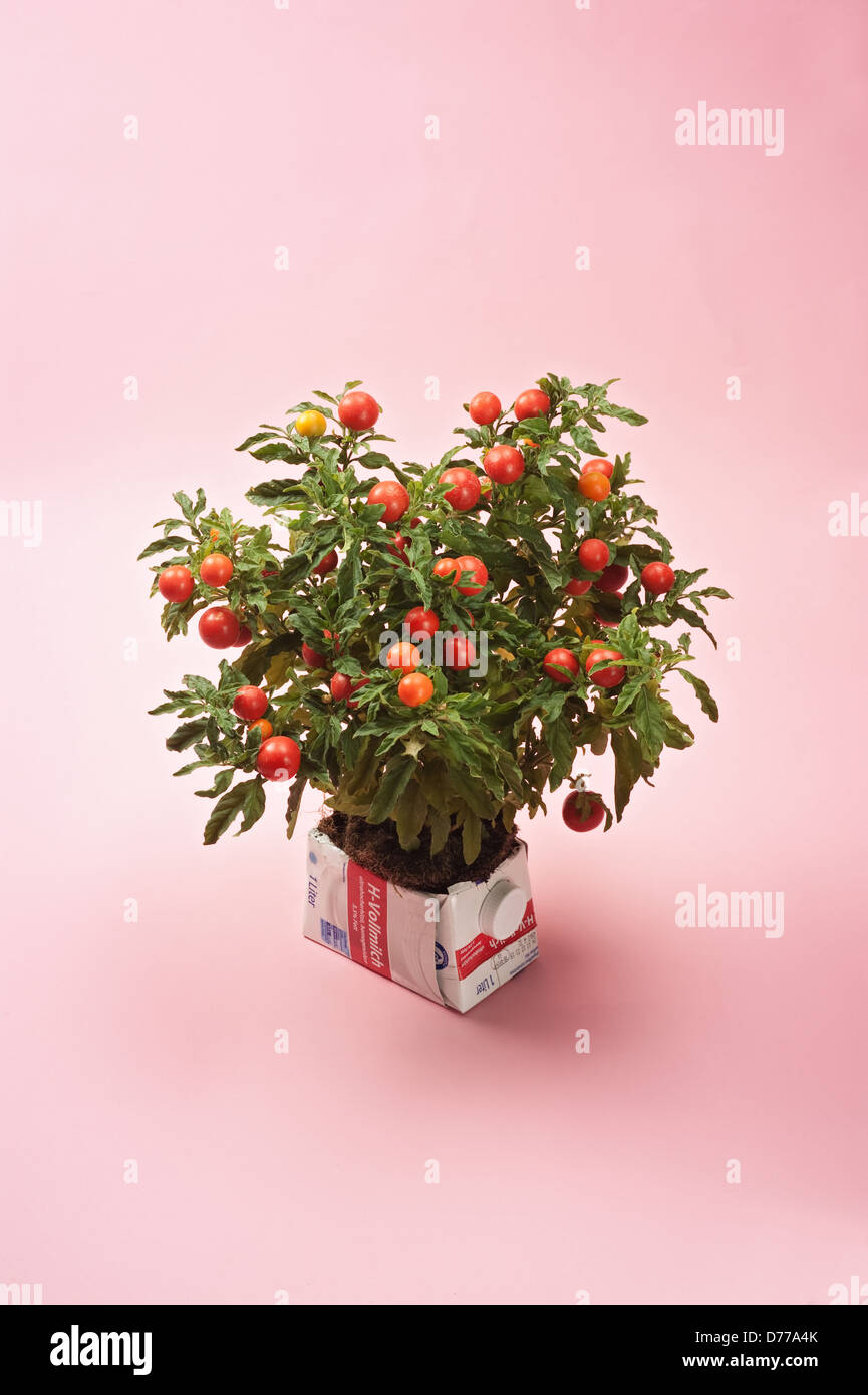 Hamburg, Germany, a tetra pack as an ornamental flower pot for tomato - Stock Image