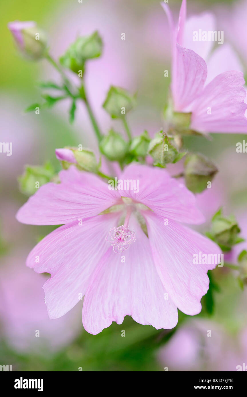Delicate Pale Pink Flowers Of Kashmir Mallow Lavatera Cachemiriana
