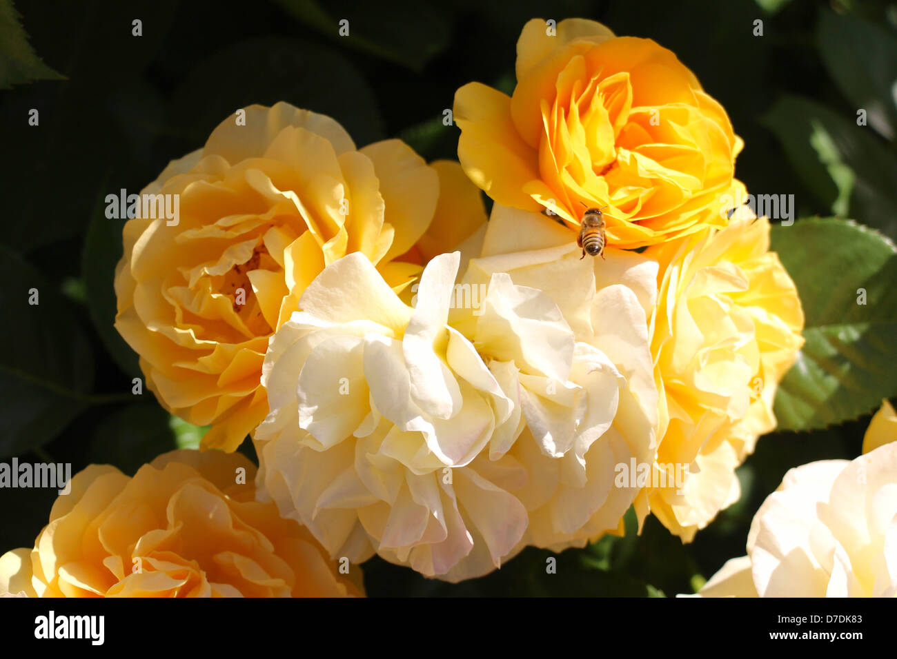 julia-child-roses-floribunda-carruth-pla