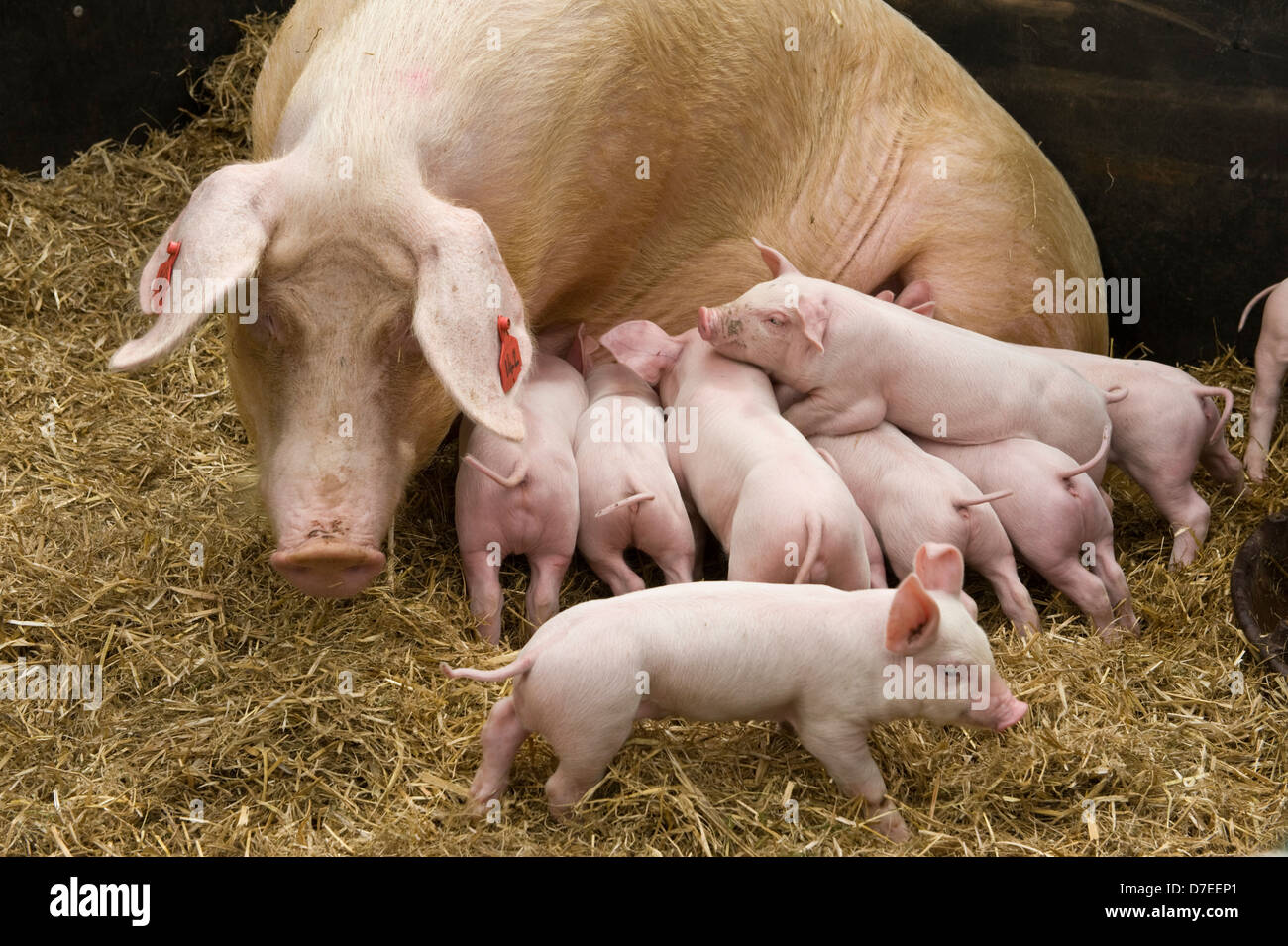 piglets-suckling-on-a-sow-exeter-festival-of-south-west-food-drink-D7EEP1.jpg