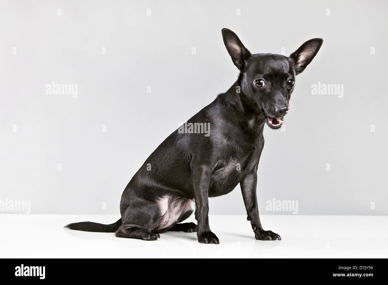 A small black chihuahua dog looking to camera against grey blackground - Stock Image