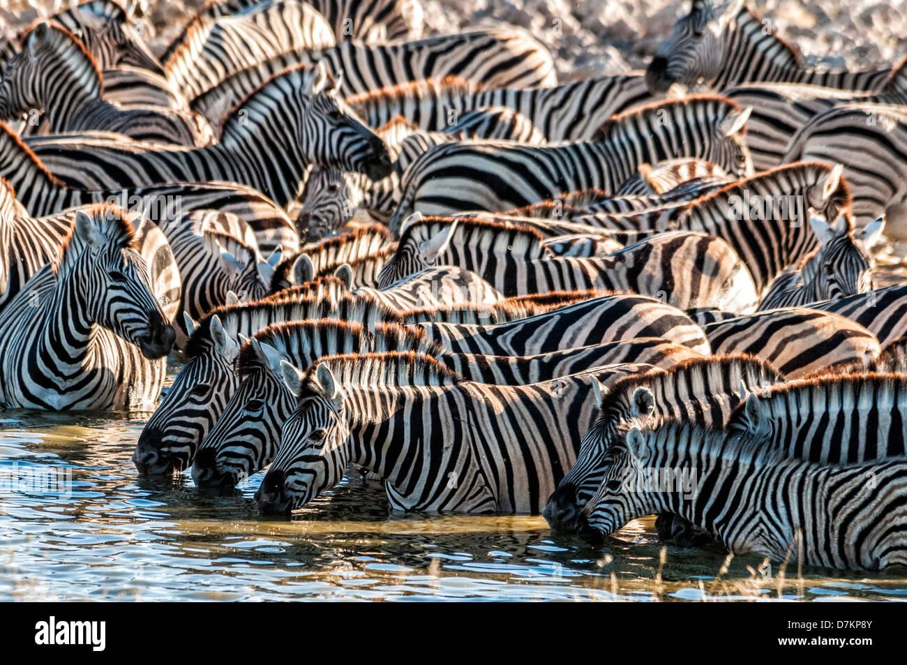 Herd or dazzle of Burchell's Zebras, Equus burchellii, drinking at the Okaukuejo waterhole, Etosha, Namibia, - Stock Image