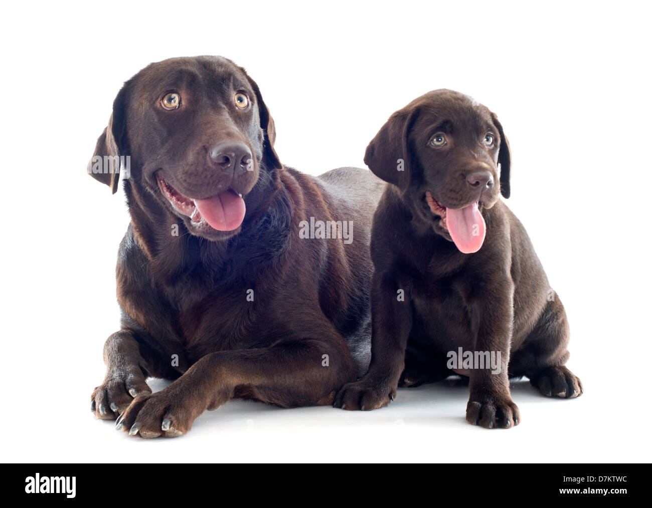 Purebred Labrador Retriever Adult And Puppy In Front Of White Stock