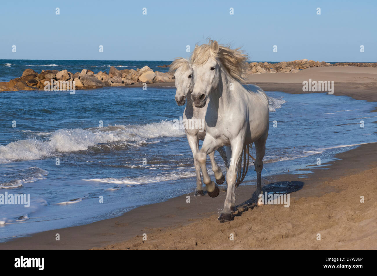 Camargue horses running on the beach, Bouches du Rhone, Provence, France - Stock Image