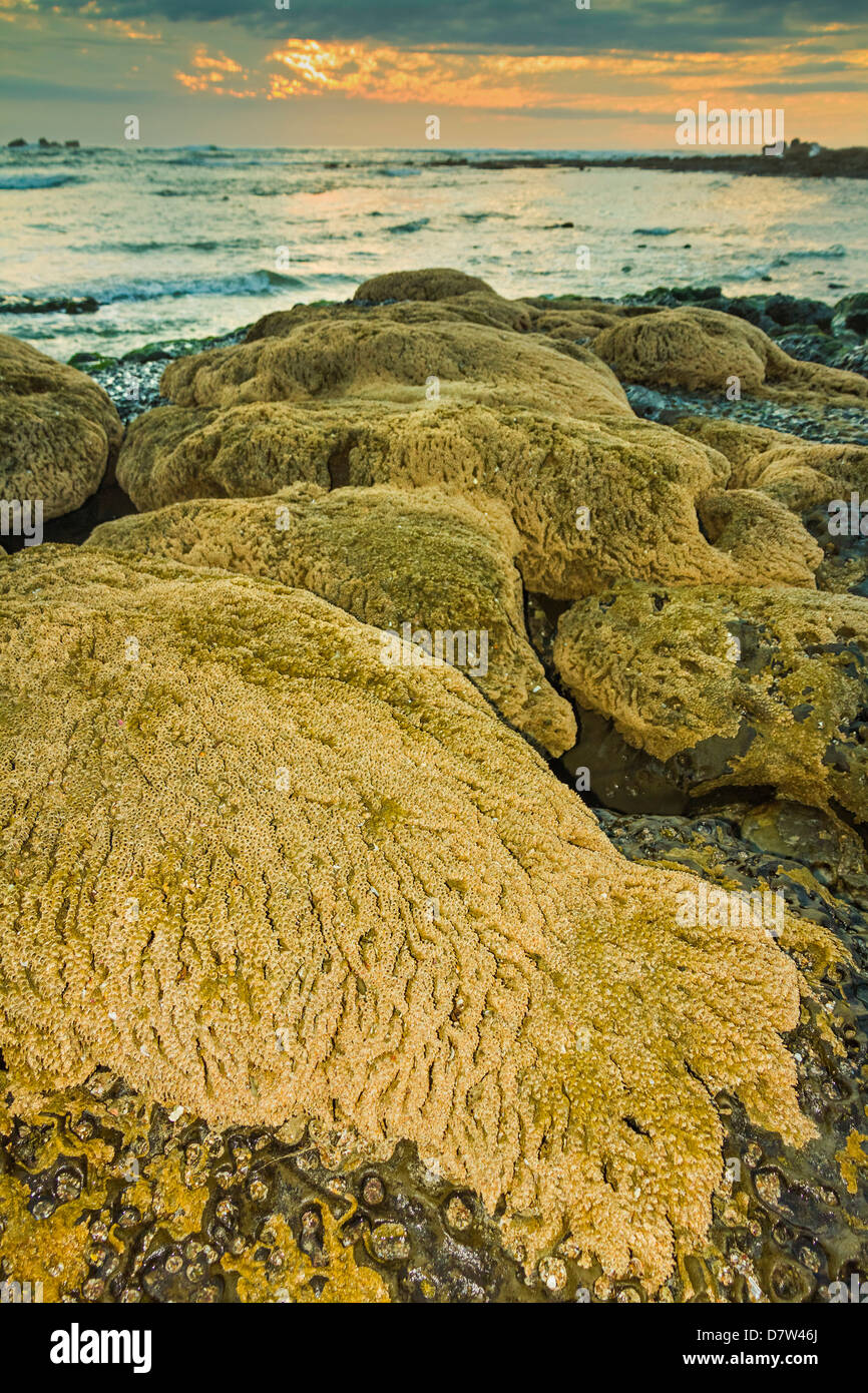 Intertidal sand reef made by the sandcastle worm, Playa Guiones beach, Nosara, Nicoya Peninsula, Guanacaste Province, - Stock Image