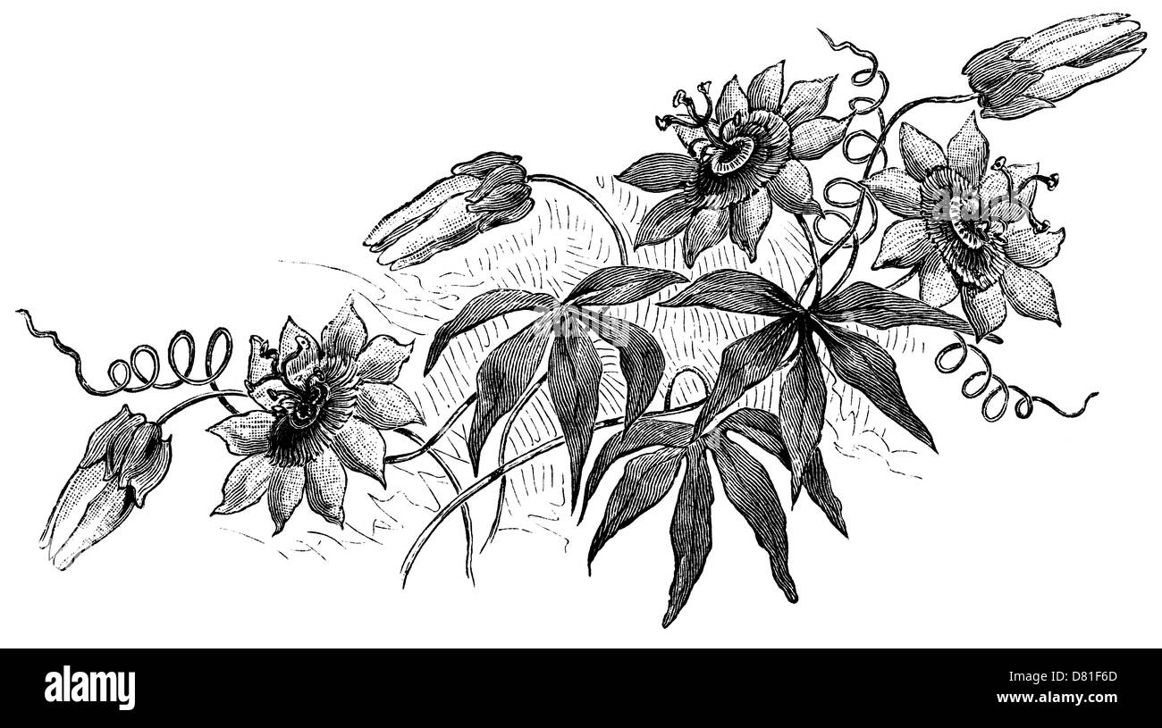 Dark passion Flowers (vintage wood engraving) from a book of goth poetry - Stock Image