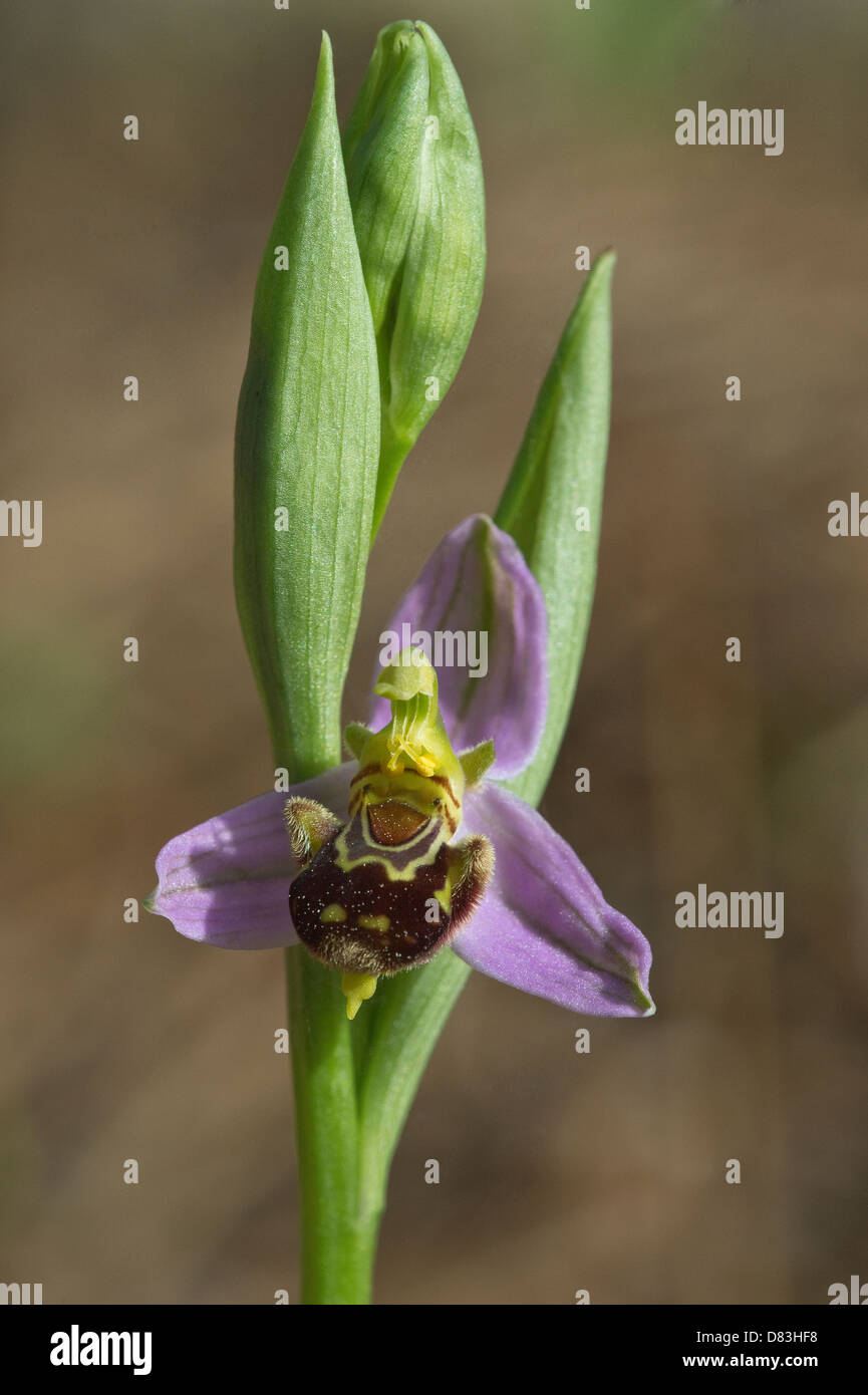 Bee Orchid (Ophrys apifera) flower Pine forest on the way to Praia da Carreagem Vicentine Coast Natural Park Algarve - Stock Image