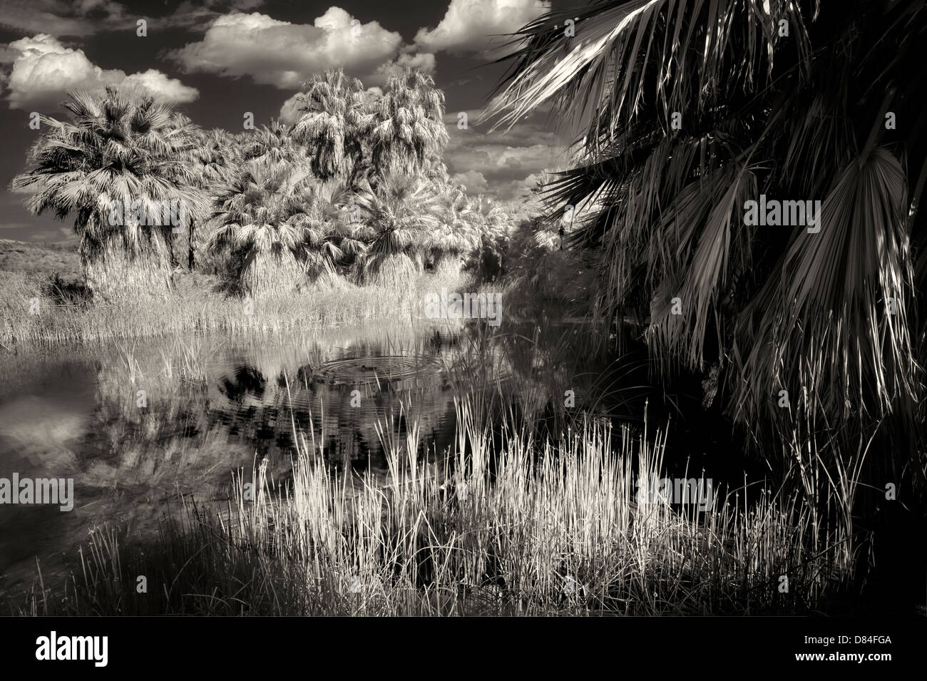 McCallum Pond. Coachella Valley Preserve. California - Stock Image