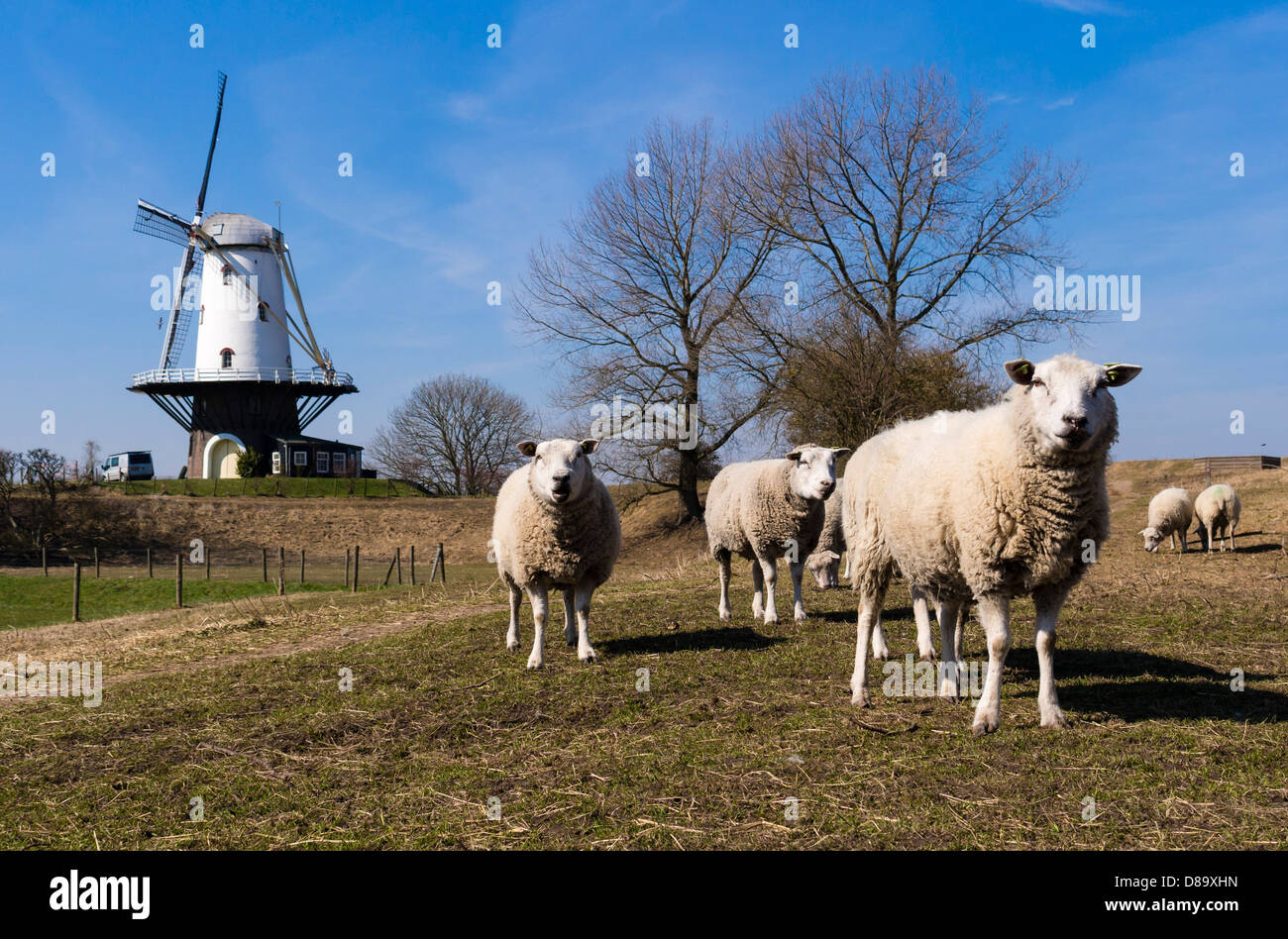 Sheep graze on a meadow in front of the Veere windmill. - Stock Image