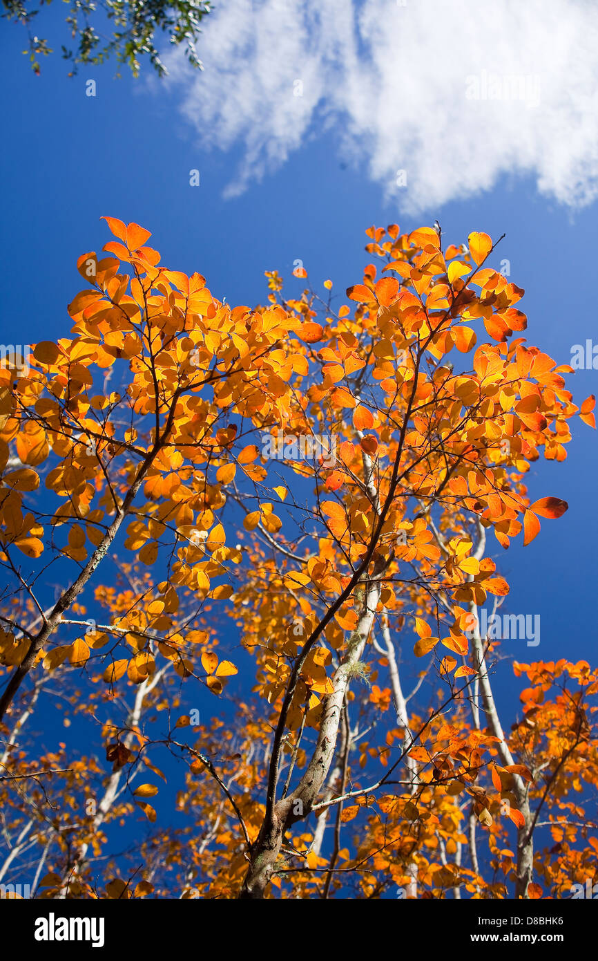 Brightly coloured Autumn leaves against a blue sky. - Stock Image