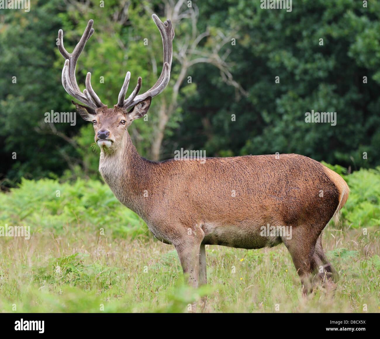 Red Stag Deer with velvet antlers (Cervus Elaphus) - Stock Image
