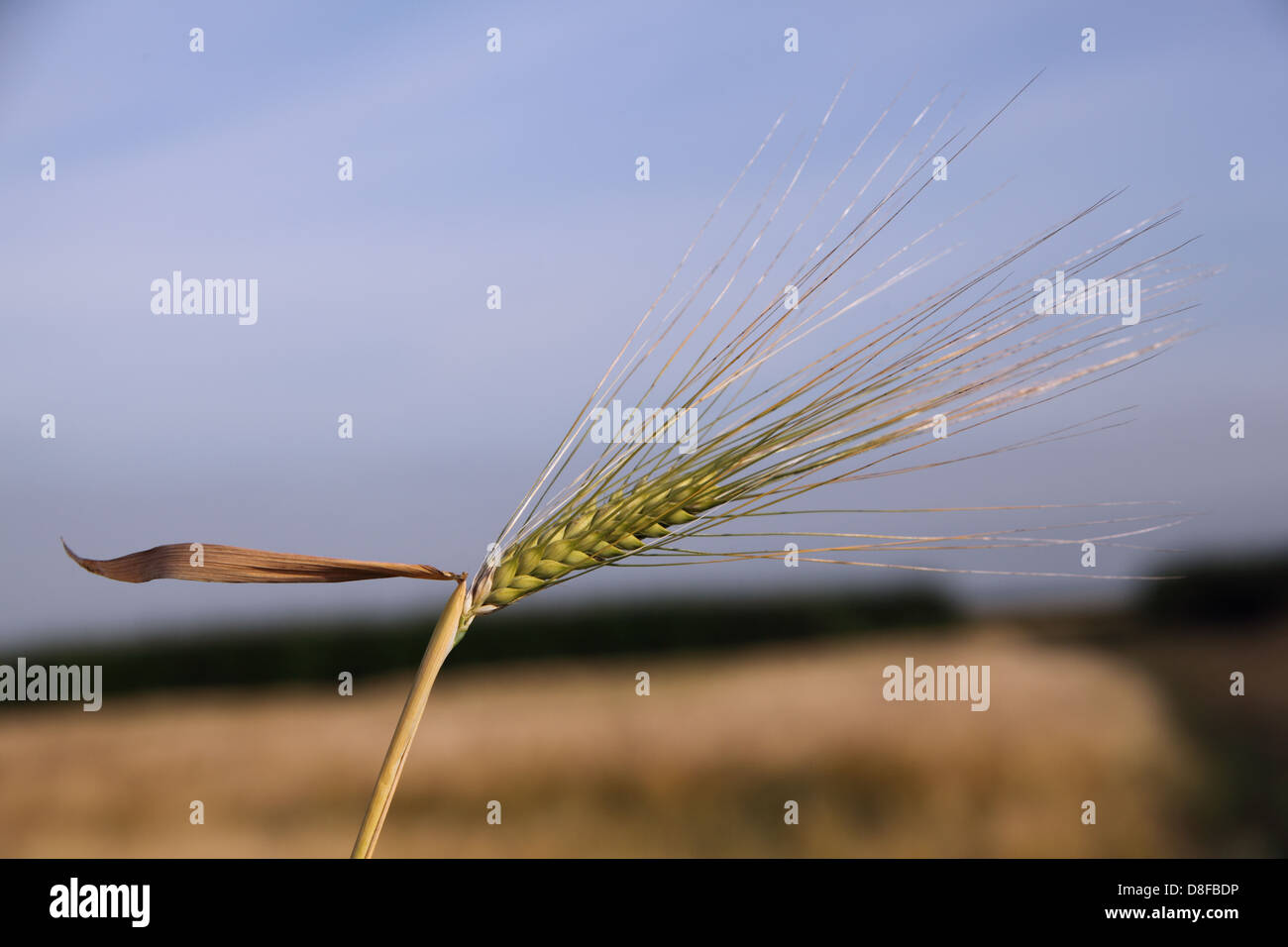 United,Kingdom,GB,great,Britain,blowing,in,the,wind,summer,autumn,floor,barley,cereal,grain,bearing,grain-bearing,tip,part,of,the,stem,plant,wheat,maize,prominent,lobe,leaves,spike,central,stem,growing,grows,tightly,packed,rows,of,flowers.,development,develop,into,fruits,containing,edible,seeds,Gotonysmith,GF,Gluten-free,diet,free,protein,complex,kamut,and,spelt,barley,rye,triticale,treatment,for,celiac,disease,dermatitis,herpetiformis,intolerance,tolerant,to,corn,protected,leaves,called,husks,unripe,ears,contribute,significantly,to,field,fields,photosynthesis,parasite,Anguina,tritici,Cockle,tissues,growth,crop,rotation,system,Buy Pictures of,Buy Images Of