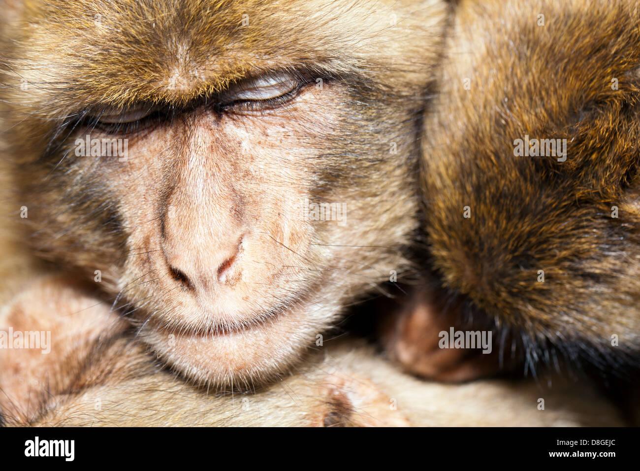Three monkeys sharing a group hug as they snuggle and sleep together.  Barbary Macaque (Macaca sylvanus), an endangered - Stock Image