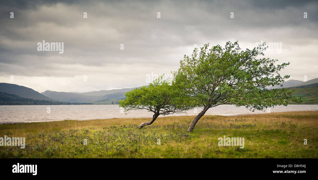 Warped trees in front of a lake in the Scottish Highlands, Scotland, United Kingdom - Stock Image