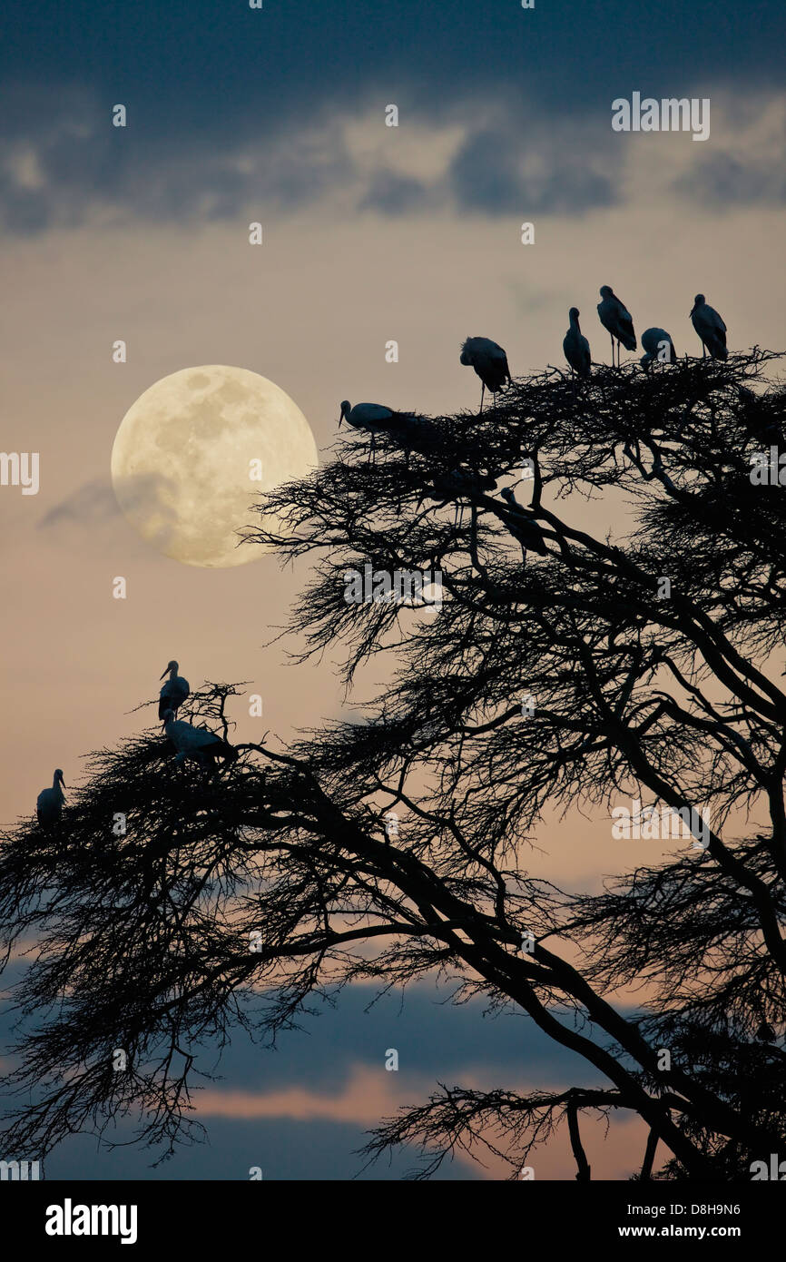 Acacia tree with white European storks at sunset.Northern Kenya - Stock Image