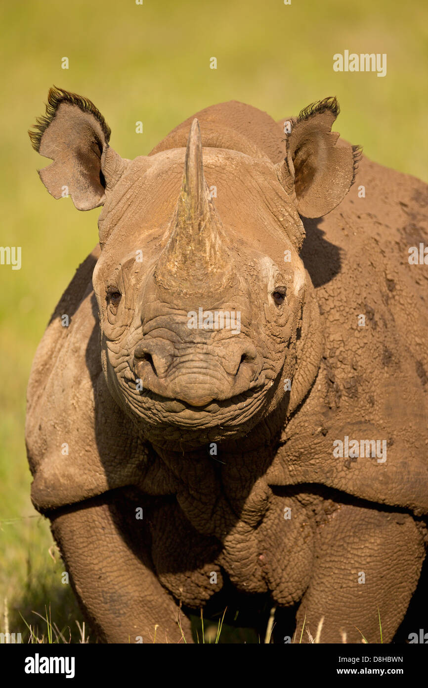 Portrait of Black Rhinoceros.(Diceros bicornis)Kenya - Stock Image