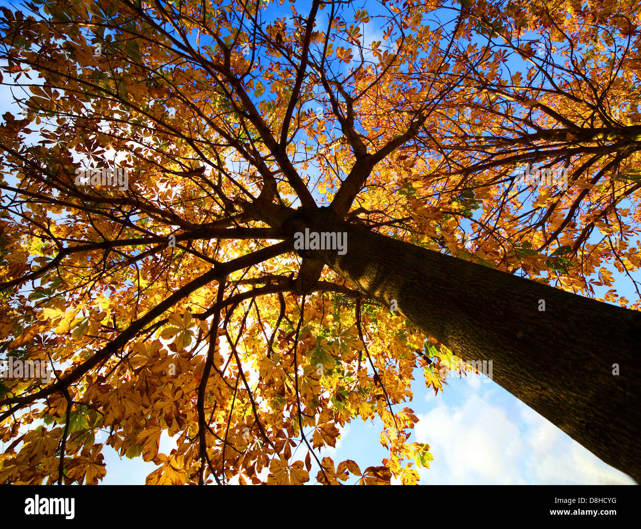 the,fall,into,sky,blue,autumnal,yellow,gold,trees,Grappenhall,Heys,Walled,Garden,forest,wood,sunset,sunrise,lighting,dramatic,drama,Sycamore,up,upwards,skywards,collection,sales,gotonysmith,Buy Pictures of,Buy Images Of