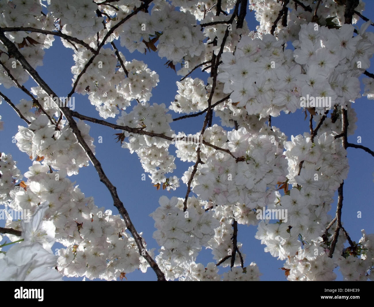 nature,natural,flower,flowers,blossom,blossoms,bloom,blooming,smell,sweet,of,Sakura,cultivated,for,ornamental,use,do,not,produce,fruit,tree,trees,shrub,shrubs,Hanami,Prunus,avium,and,Prunus,cerasus.,beige,cream,creme,color,colour,new,life,rebirth,birth,festival,season,sato-sakura,group,sato,gotonysmith,Buy Pictures of,Buy Images Of