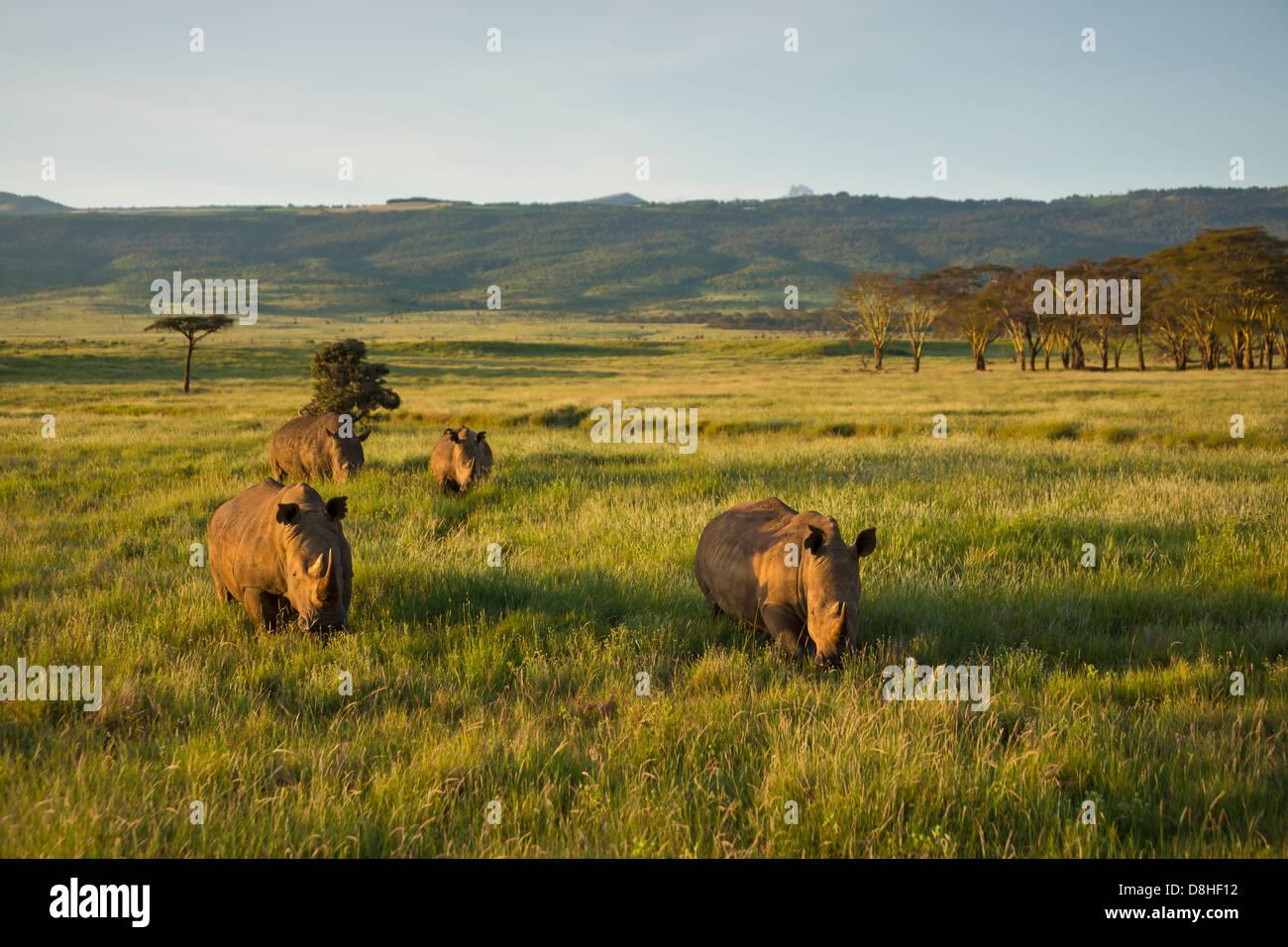 White Rhinoceros (Ceratotherium simum). Kenya - Stock Image