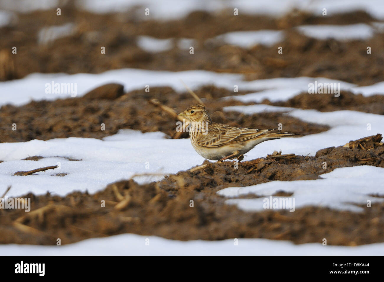 Eurasian Skylark - Stock Image
