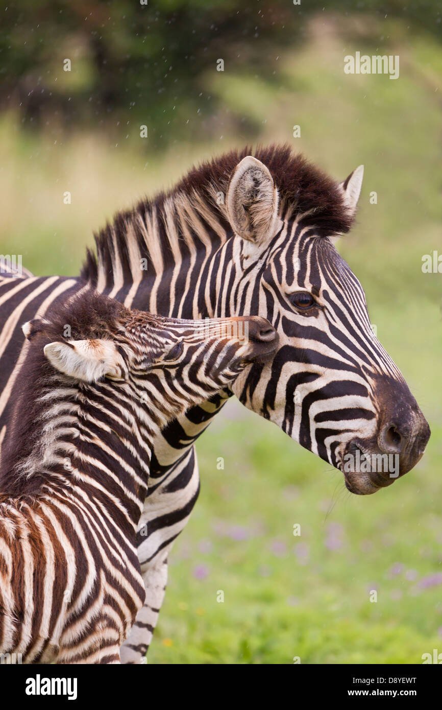 Burchell's zebra. Mother and foal. - Stock Image