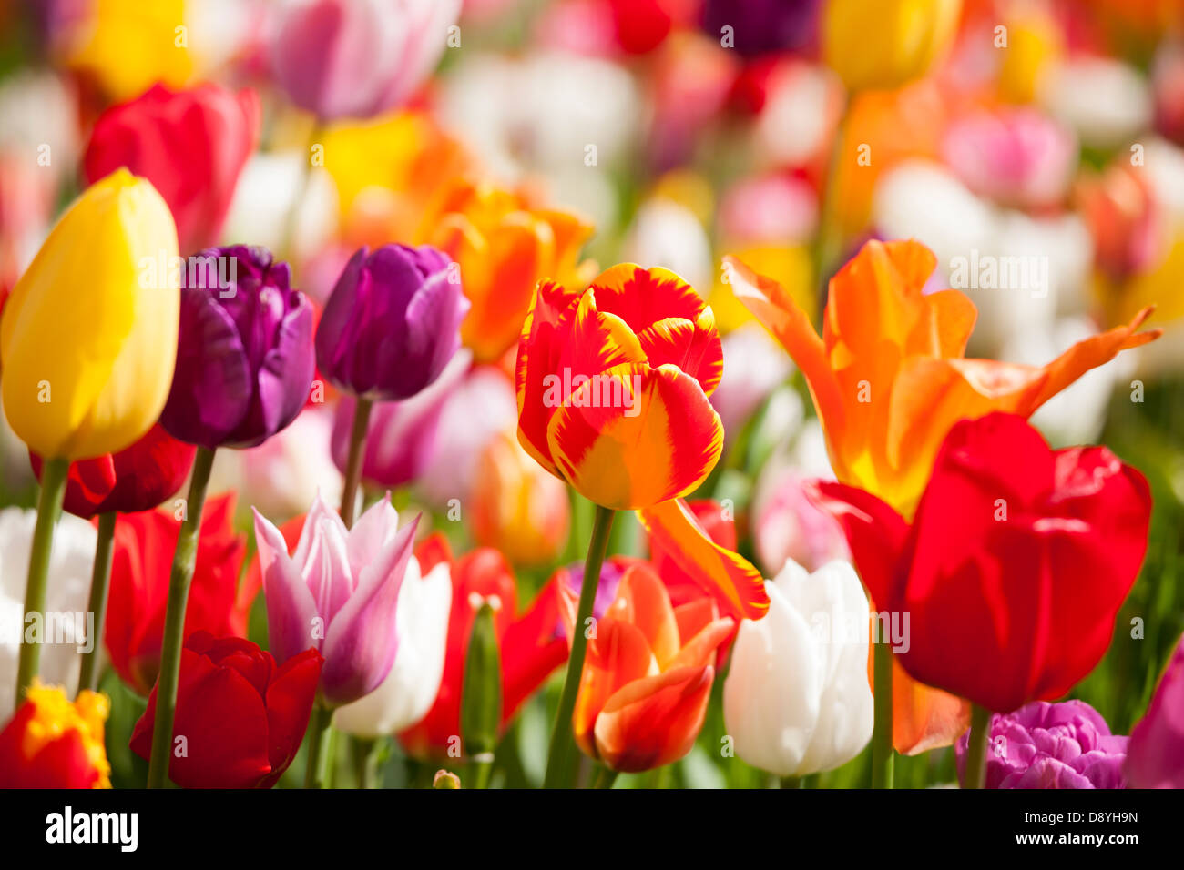 https://c7.alamy.com/comp/D8YH9N/tulips-close-up-of-mix-many-different-multi-colored-coloured-dutch-D8YH9N.jpg