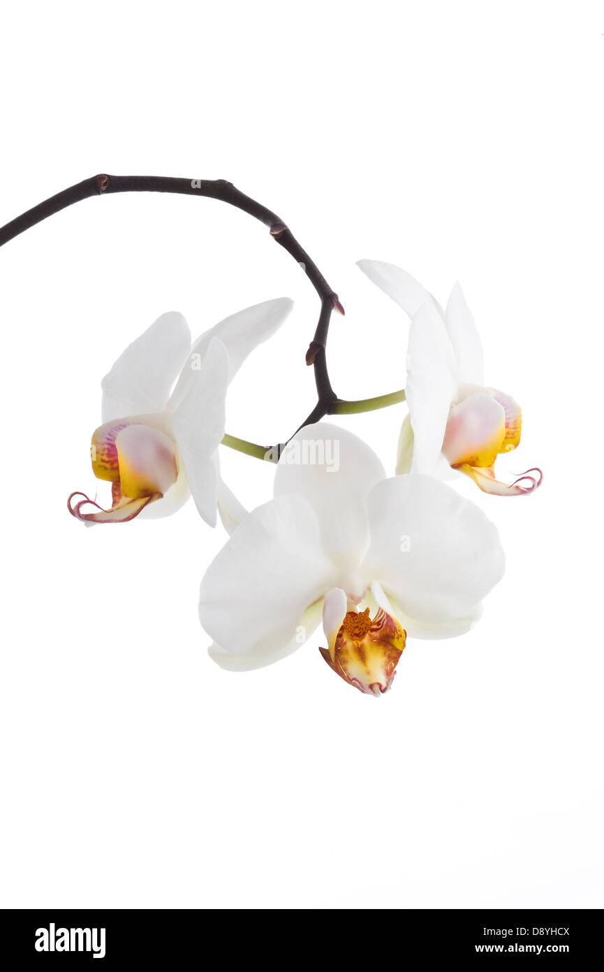 Orchid flowers on the white background cultivated plant Adel Leeds West Yorkshire UK Europe April - Stock Image