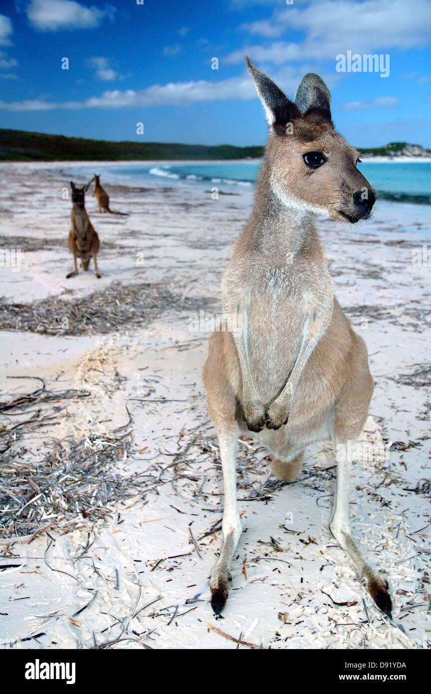 Kangaroos on the beach at Lucky Bay, Cape Le Grand National Park, near Esperance, Western Australia Stock Photo