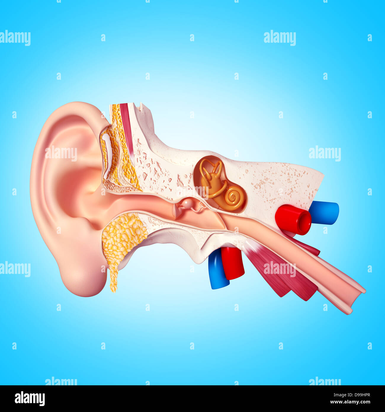 3d Illustration Of Human Ear Anatomy Stock Photo 57374543 Alamy