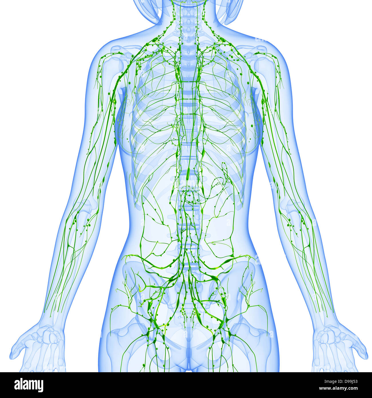 Lymphatic System Of Female Body Anatomy In X Ray Form Stock Photo