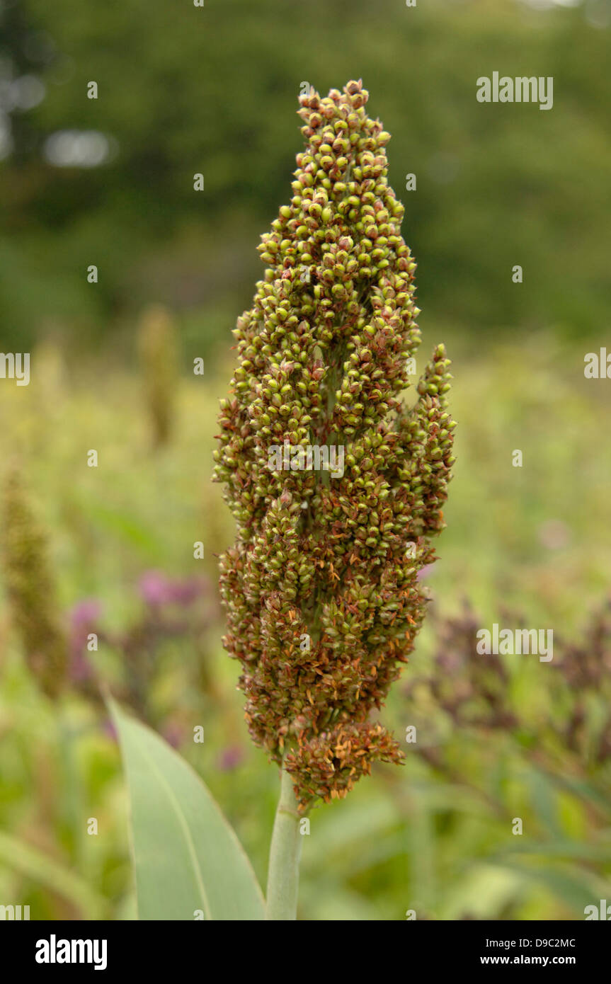 Grain Crop Sorghum Growing September 9 2008 In Tidewater County Virginia Grows Environments Too Harsh For Corn Or Sugarcane And Is An