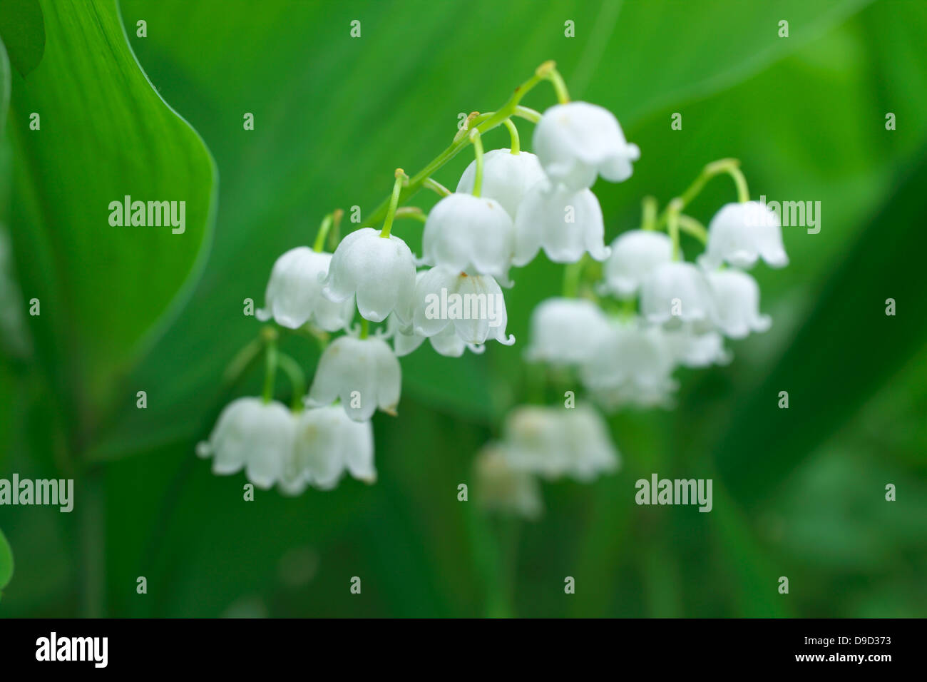 Lily of the valley flowers stock photo 57450935 alamy lily of the valley flowers izmirmasajfo