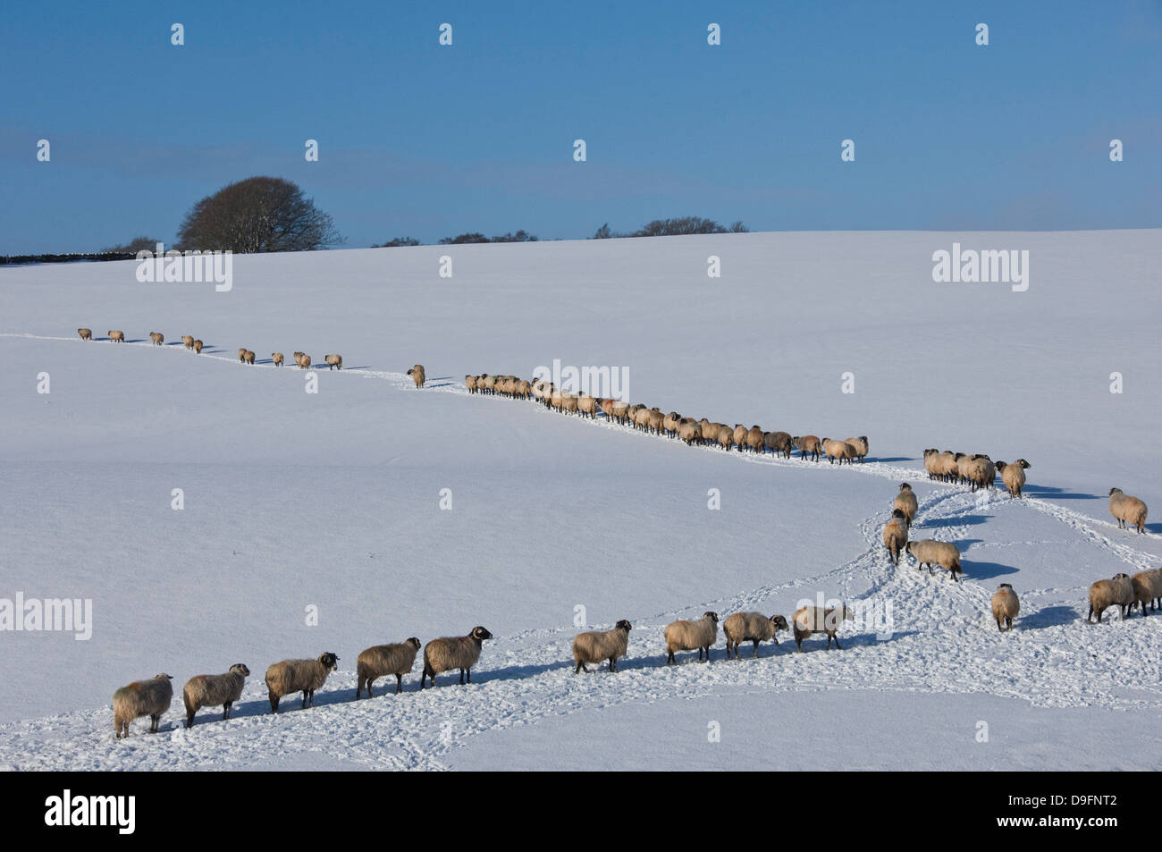 A file of sheep across snow, Lower Pennines, Eden Valley, Cumbria, England, UK - Stock Image