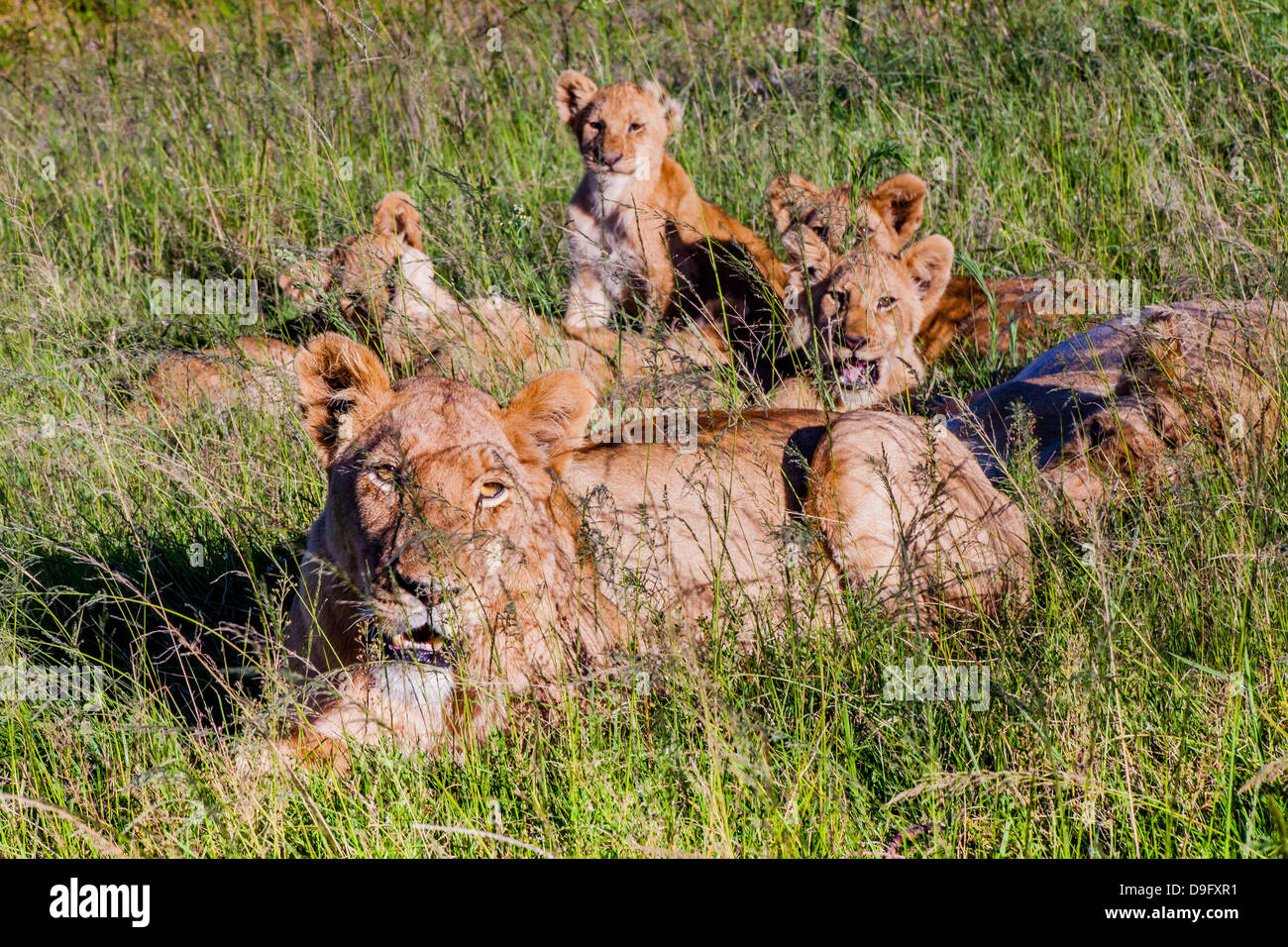 Lioness and her cubs in long grass, Western Cape, South Africa, Africa - Stock Image