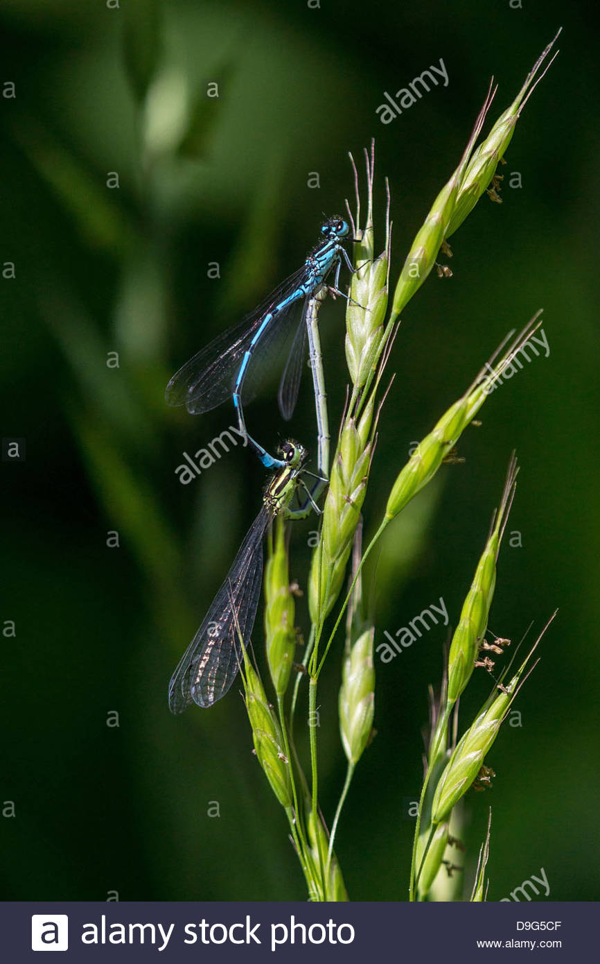 eurasian-bluets-mating-coenagrion-puella