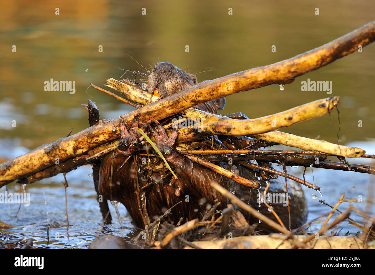 An adult beaver caring a big load of sticks to plug a hole in the beaver dam - Stock Image