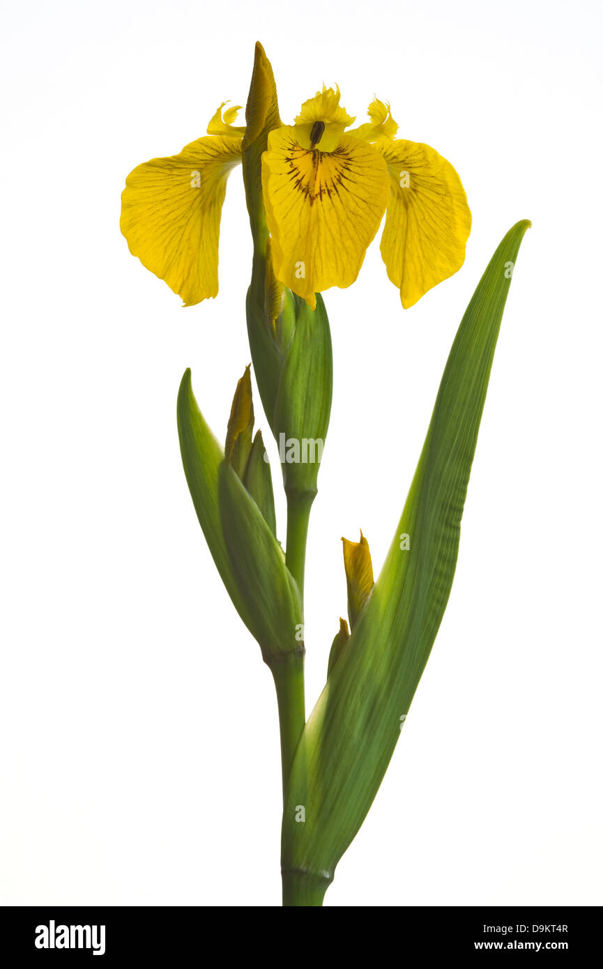 Yellow flag (Iris pseudacorus) flower and leaves on white background garden Adel Leeds West Yorkshire England - Stock Image